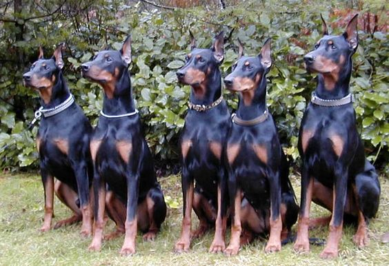 I had a Doberman Pinscher when I was a kid and I have always loved this breed.  I would definitely love to have a Doberman again.  A square, medium-sized dog, the Doberman Pinscher is muscular and possesses great endurance and speed. He is elegant in appe