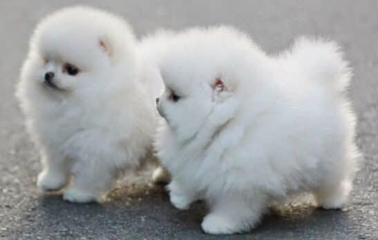 5 Cutest Teacup puppies you have ever seen | The Planet of Pets: Cotton Ball, Animals, Puppies, Dogs, Fluffy, Pets, Puppys, Adorable, Fluff Ball