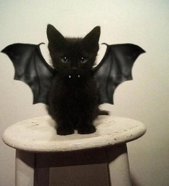 It's that time of year again.. and what is more adorable than a black bat kitten!?: Cats, Batcat, Animals, Vampire, Bats, Kitty, Black Cat, Halloween