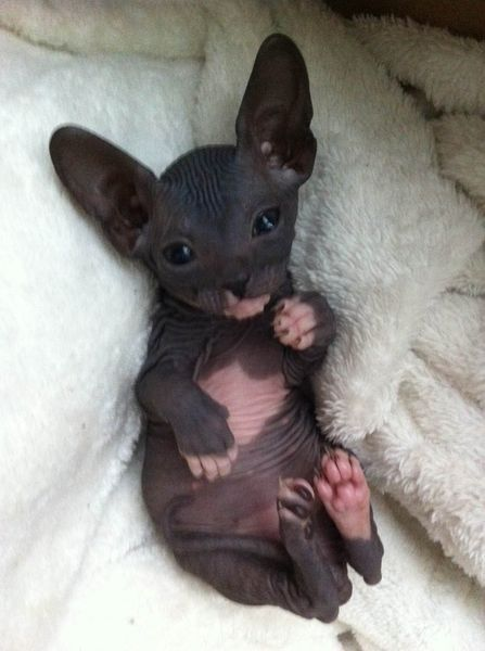 Kijiji : Chatons DON SPHYNX!! Call me crazy... But that's cute. ...........click here to find out more http://googydog.com: Sphinx Kitten, Hairless Kitten, Hairless Cats, Sphynx Cat, Cute Hairless Cat, Crazy Cat, Sphinx Cat