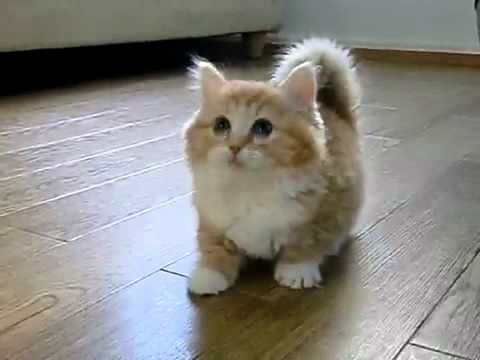 Not sure if I'm right but this looks like a munchkin kitten. I do know that it is unbelievably cute!: Cats, Animals, Munchkin Cat, Munchkin Kitten, Pet, Adorable, Baby, Kittens, Kitty
