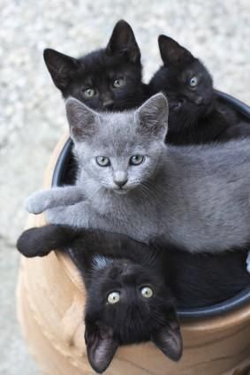 Taming Feral Cats and Kittens #nutrition #feline - more fact about cats food at Catsincare.com!: Cats, Grey Cat, Gray Kitten, Kitty Cat, Feral Cat, Grey Kitten, Crazy Cat, Black Cat, Animal