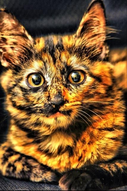 We call her Firecracker, 'cause she looks like a sparkly explosion of color.  What a beautiful girl!: Beautiful Cat, Kitty Cats, Animals, Kitten, Candy Corn, Tortoiseshell Cat, Kitty Kitty, Cat Lady