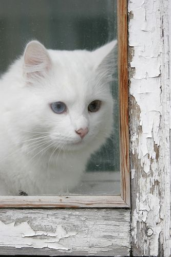 """If God created man in his own image, you have to wonder in whose image did he create the nobler cat?"" --Author Unknown: Brown Eyes, Beautiful Cat, Kitty Cats, Window, White Cats, Blue Eye, Kitty Kitty, Baby Cat"