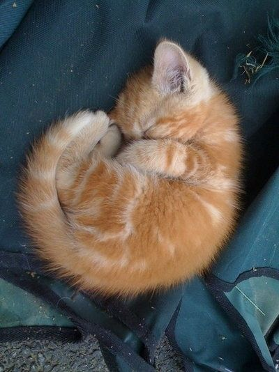 All curled up in a ball...: Kitty Cats, Animals, Sweet, Orange Cats, Kitty Kitty, Adorable, Baby, Kittens