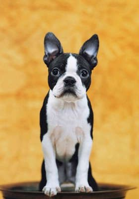 Boston- looks just like the Gabster! Hav e fallen head over heels in love with my daughters little Bosten - Gabby Rose - Want to own a Gabby number 2 - one day: Pet Dogs, Pets, Apartment, Boston Terrior, Boston Terriers, Dog Breeds