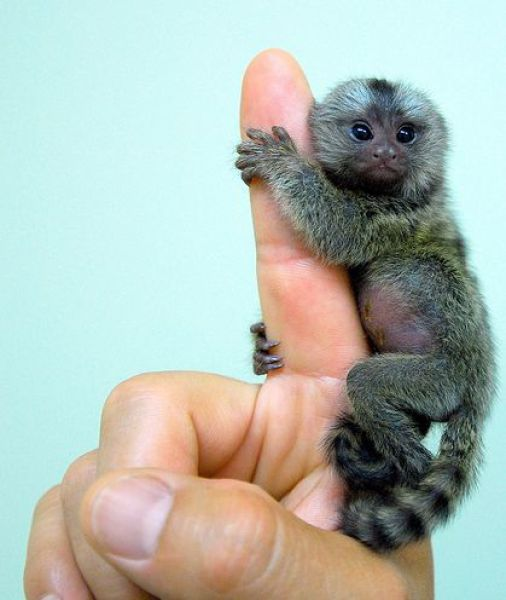 I normally don't like monkeys, but THIS I just can't resist.: Animals, So Cute, Pet, Finger Monkeys, Fingers, Fingermonkeys, Baby, Pygmy Marmoset