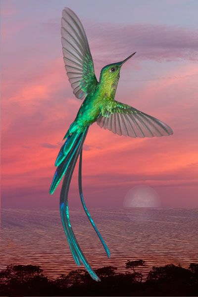 Long-tailed Sylph Hummingbird - found in Bolivia, Colombia, Ecuador, Peru, and Venezuela  (photo by focusfrog): Humming Birds, Humming-Bird, Beautiful Birds, Hummingbirds, Animal, Sylph Hummingbird