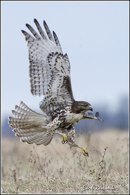 """My friend Ron came to get something at the store and sat with me a while. He is an archaeologist who works in Big Bend National Park. We watched a hawk strike with deadly speed and then rise with the grace of a prima ballerina. """"Hawks are my favorite,"""" he"""