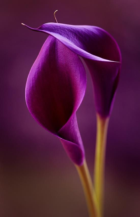 Purple Calla Lily- LOVE how gorgeous and sleek this looks!: Color, Calla Lilies, Purple Passion, Beautiful Flowers, Purple Calla, Garden, Calla Lily, Flower, Purple Flower