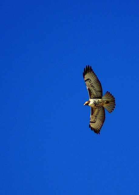 Red Tailed Hawk: Mom Red, Red Tailed Hawk, Birds Aves Pajaros, Beautiful Red