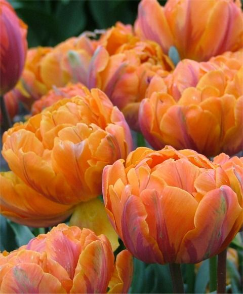 Tulip Orange Princess... Azalea-pink glow, garnet-purple flames and dark blue-green foliage... and fragrant to boot!: Peony Tulip, Color, Princess Tulips, Orange Tulip, Beautiful Flowers, Bloom, Princesses