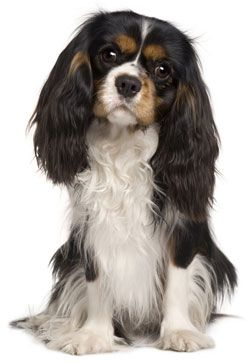 Cavalier King Charles Spaniel: Dogs, Bow Ties, Pet, Charles Spaniels, Puppy, Cavalier King, Friend, Animal