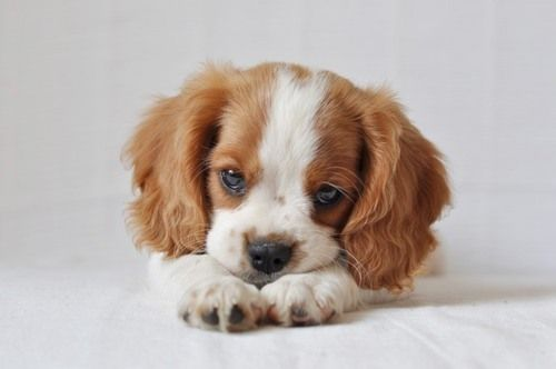 Cavilier King Charles puppy.  ooohhh