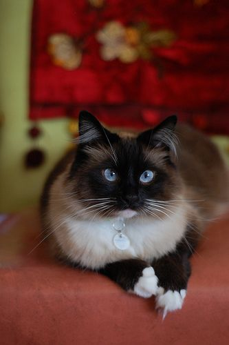 """Her function is to sit and be admired."" --Georgina Strickland Gates: Kitty Cats, Babycatskatrine Blogspot, Pretty Cat, Blue Eyes, Baby Animals, Siamese Cat, Baby Cats"