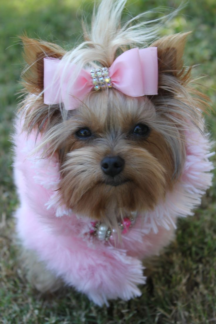 """I think he may ask me tonight?"" #dogs #pets #YorkshireTerriers Facebook.com/sodoggonefunny: Pink Dogs, Sweet, Luv Yorkies, Dogs Pets, Pets Yorkshireterriers, Puppy, Yorkie Dogs, Animal"