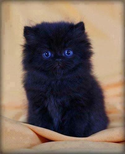 5 Cats with adorable eyes, love this fluffy cutie :): Animals, Kitty Cat, Black Cats, Blue Eyes, Black Kittens