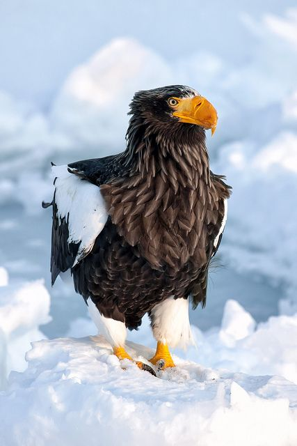 A stellar's sea eagle perched on a mound of snow in the harbor town of Rausu on the Shiretoko Peninsula in Hokkaido, Japan. by pics721: Eagles Birds, Birds Eagles World, Animals, Poultry, Snow, Beautiful Birds, Stellar S Sea