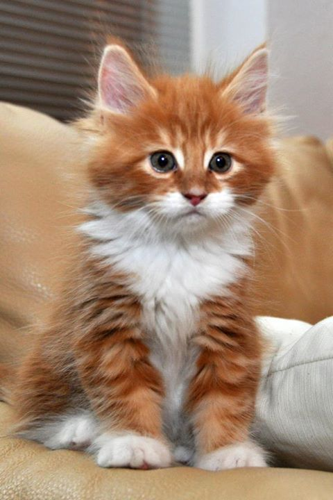 Adorable cute white and orange kitty... click on pic to see more: Cats, Orange Cat, Animals, Kittens, Kitty