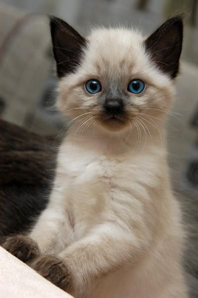 all things bright...: Cats, Kitty Cat, Animals, Siamese Kittens, Pet, Blue Eye, Baby, Siamese Cat