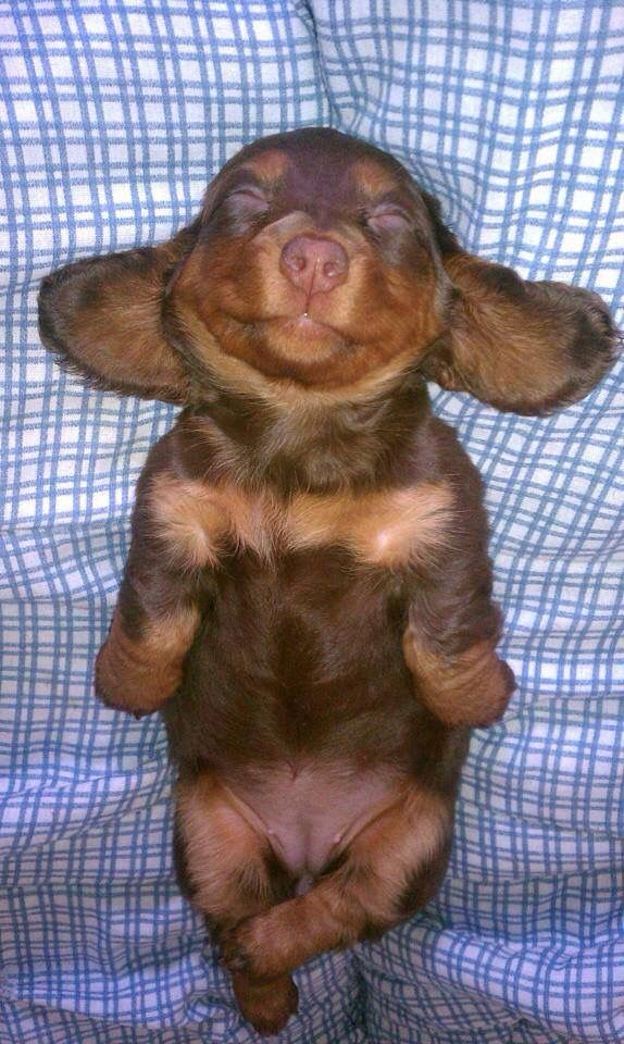 Aww: Animals, Dogs, Dachshund, Happy Puppy, Doxie Puppy, Puppys, Doxies, Baby, Sweet Dreams