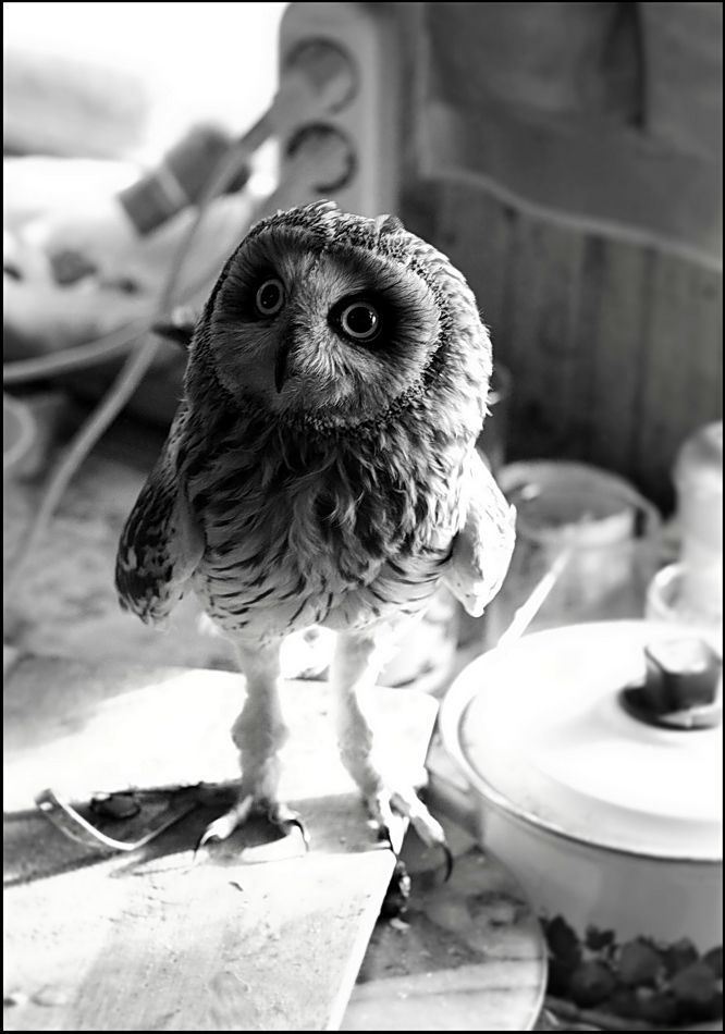 baby owl.  one time one rode my dad's truck grill all the way home and then spent the night in shock with us until we could take it to the vet in the morning.: Little Owls, Animals, Creature, Baby Owls, Things, Cute Owl, Photo, Birds, Hoot