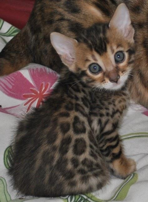Bengal kitten. I want one!: Bengal Baby, Kitty Cats, Bengal Cats, Animals, Leopard Print, Bengal Kitty, Bengal Kittens, Kitty Kitty, Cats Kittens
