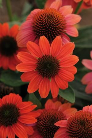 "Coneflower 'Hot Coral' Echinachea - Bright coral-orange flowers that bloom all summer long. Excellent cut flower Height 24"" Zones 3-8: Hot Coral, Coral Coneflower, Plants, Sombrerotm Hot, Sombrero Hot, Flowers, Garden, Cut Flower"