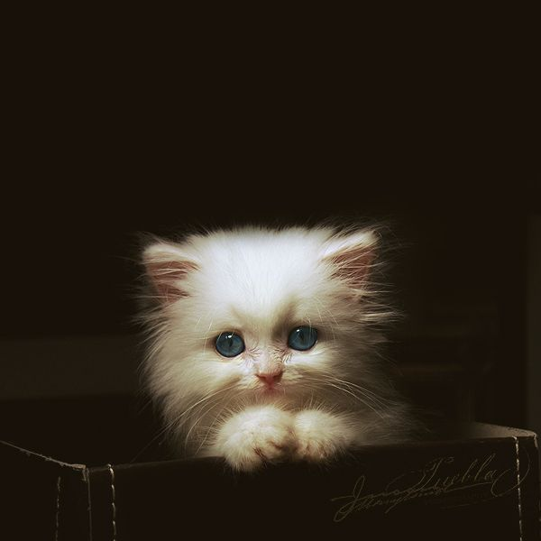 Do cats get any sweeter than this.: Cats, Animals, Sweet, Pet, Kitty Kitty, Baby, Eye, White Kittens