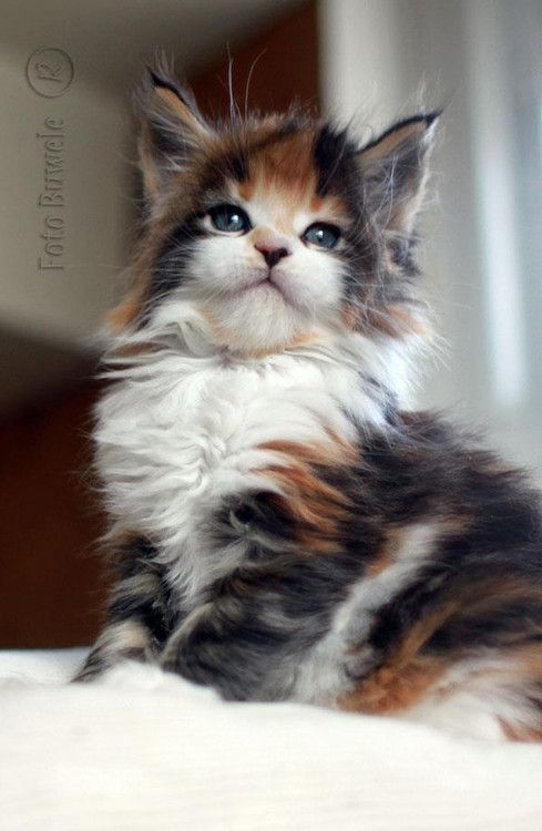 Fluffy Calico with adorable cheeks !!!: Kitty Cats, Fluffy Calico, Feline, Cats Kittens, Calico Cats And Kittens, Cats Click, Animal