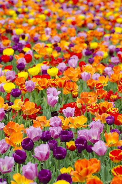 Forget all and just walk here.: Colour, Field Of Flower, Color, Flower Power, Beautiful Flowers, Garden, Favorite Flower