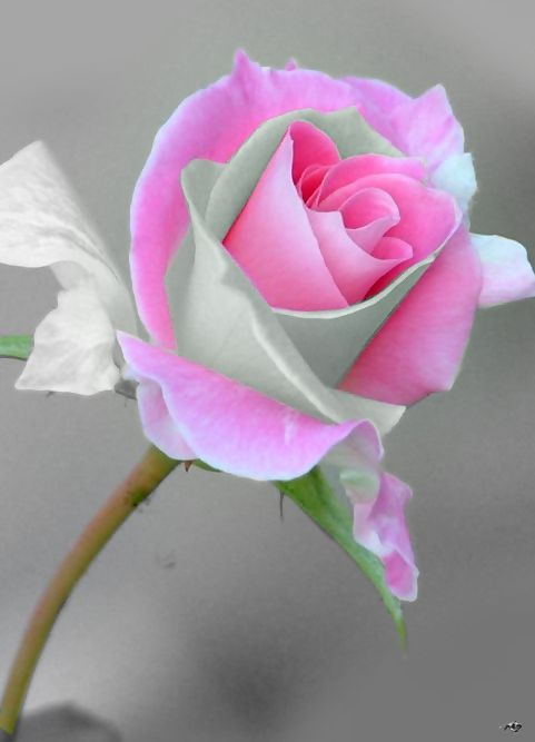 Helping Birthmothers years later on their journey. Birth Moms Today is an online Community Grounded and Centered in Loving-Life Changing Support. Visit us at http://www.BirthMomsToday.com: Pink Roses, Beautiful Roses, White Roses, Color, Pretty Flowers, B