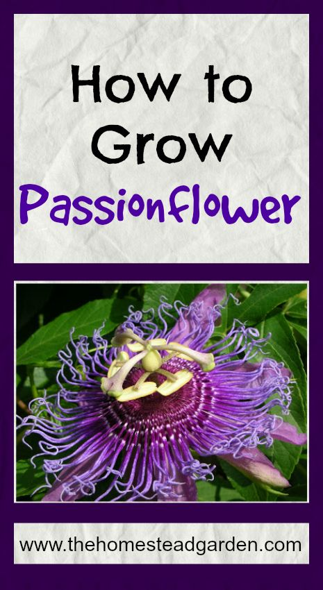 How to Grow Passionflower: Grow Passionflower, Green Thumb, Garden Ideas, Ferns Flowers Plants, Exotic Flowers And Plants, Flower Gardens, Backyard Gardens, Passion Flower