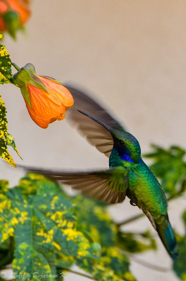 Hummingbird flowers. I have this tree beside my house but can't find out what the name of it is. It has these orange flowers year round, of course I live in a tropical area.: Humming Birds, Hummingbird Flowers, Birds Hummingbird, Orange Flowers, Beaut