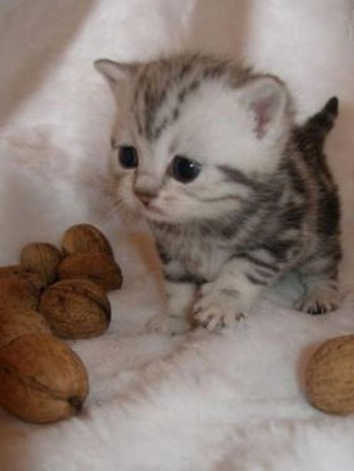 I am guessing this is a mini cat, otherwise the walnuts in the pic are just weird-lol I want one!!: Cats, Animals, So Cute, Pet, Kittens, Kitty, Big Head