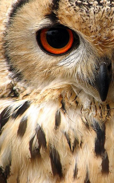 Indian Eagle Owl - http://www.facebook.com/pages/Pour-la-protection-des-animaux-et-de-la-nature/120423378016370: Animals, Owl Eyes, Hoot Hoot, Beautiful, Birds, Photo, White Owl, Owls