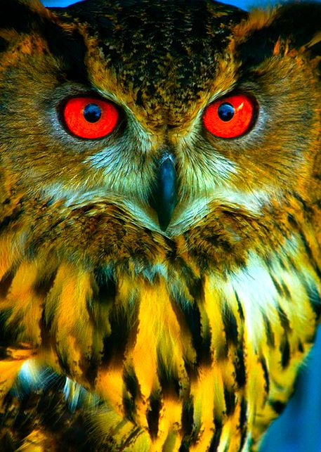 Just fascinated by how many different types of owl's there are....and some really gorgeous, colorful one's: Animals, Owl Eyes, Nature, Red Eyes, Color, Birds, Owls, Hoot