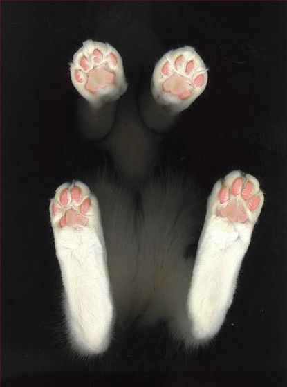 Kitty feet--I love kitty feet.  I am still in on at how fuzzy little kitty feet get when they are walking around. It is so cute.: Cats, Cat Paws, Animals, Kitten, Pet, Kitty Feet, Photo