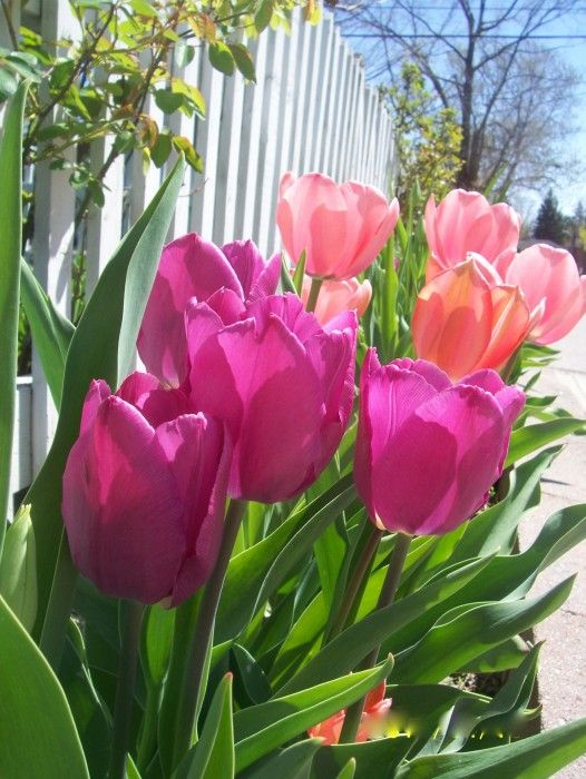 Must get spring tulips for the garden this year there just too pretty: White Picket Fences, Color, Beautiful Flowers, Garden, Pink Tulips, Flower, Favorite Flower