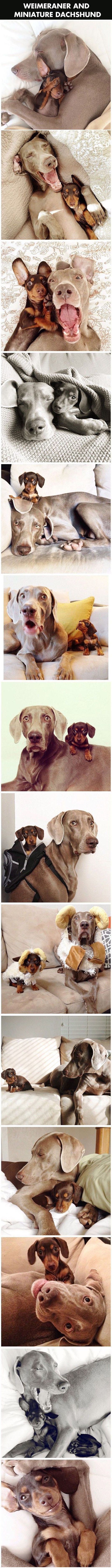 My heart just melted… - Funny Stuff   Putting a smile on your face.: Best Friends, Dachshund, Bff, Doxie, Puppy, Weim, Animal