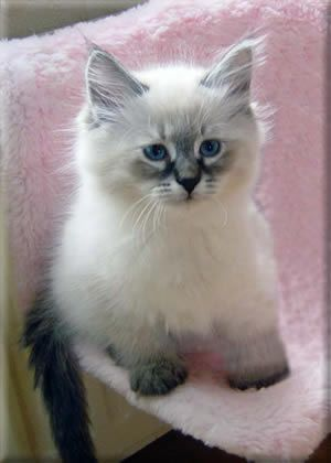"My next cat -- Siberian Forest Cat -- adorable.  I wonder if they're cheaper if you just want for a pet and not ""show quality"".  Hypo allergenic!: Fluffy Animals, Ragdoll Cats And Kittens, Siberian Kitten, Colorpoint Kitten, Fluffy Kittens, Ga"