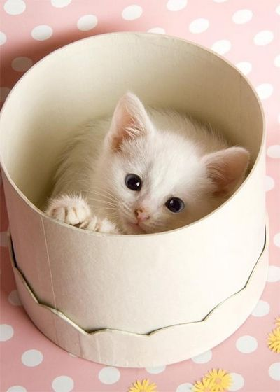 Ohhh❤: Cats, Kitty Cat, Animals, Sweet, Kittens, Hatbox, White Cat