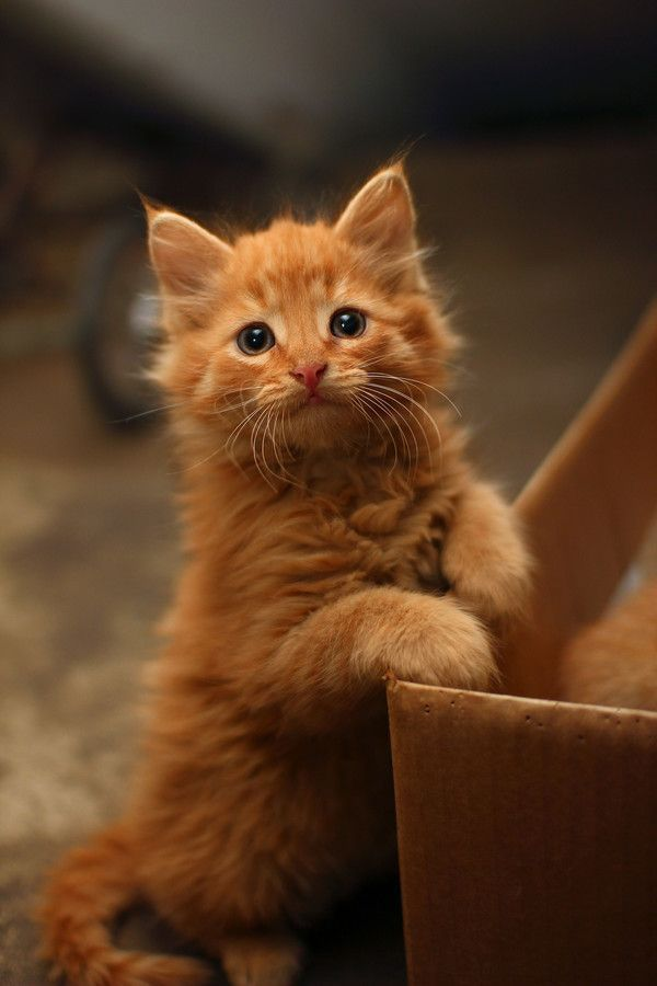 Orange cats are the best!: Kitty Cats, Animals, Ginger Kitten, Sweet, Kitty Kitty, Orange Cats, Orange Kittens, Ginger Cats, Cats Kittens