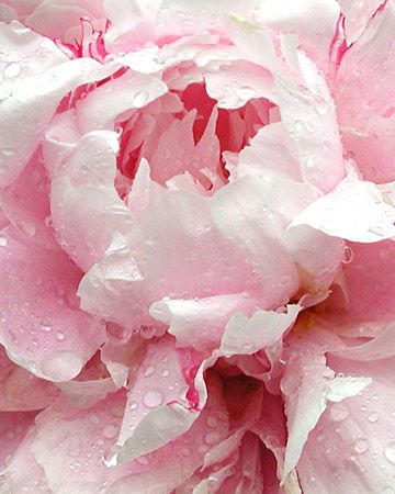 Pale Pink Peony  Kathymadden took a picture of this peony after a rain shower., use next button to view all.....( for my bathroom): Rose, Color, Pale Pink, Beautiful Flowers, Flowers Garden, Pink Peonies, Flower, Favorite Flower
