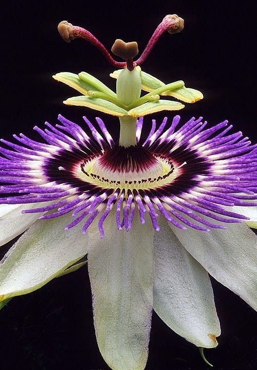Passiflora, known also as the passion flowers or passion vines, is a genus of about 500 species of flowering plants: Flor De, Exotic Flower, Beautiful Flowers, Garden, Flower Photography, Passion Flowers
