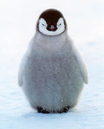 Penguin :): Babies, Happy Feet, Pet, Adorable, Baby Animals, Babypenguin, Things, Baby Penguins