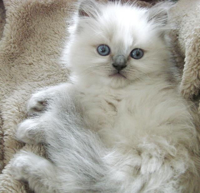 persian kitten with blue eyes: Ragdoll Cats And Kittens, Kitten, Chats Cats, Blue Eye, Cats Kittens, Adorable Kittens Cats