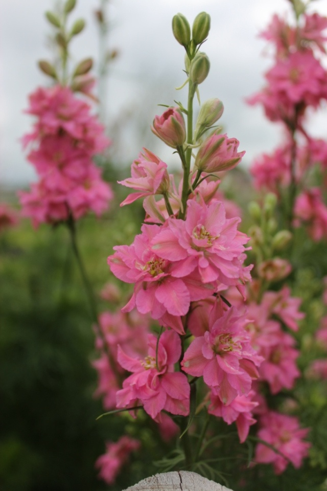 Pink Larkspur, self-seeding annual. Be sure to let the flowers of the larkspur go to seed.: Pink Flowers, Seeding Annual, Larkspur Flowers, Self Seeding Flowers, Annual Flowers, Pink Larkspur, Garden Flowers Plantings, Spring