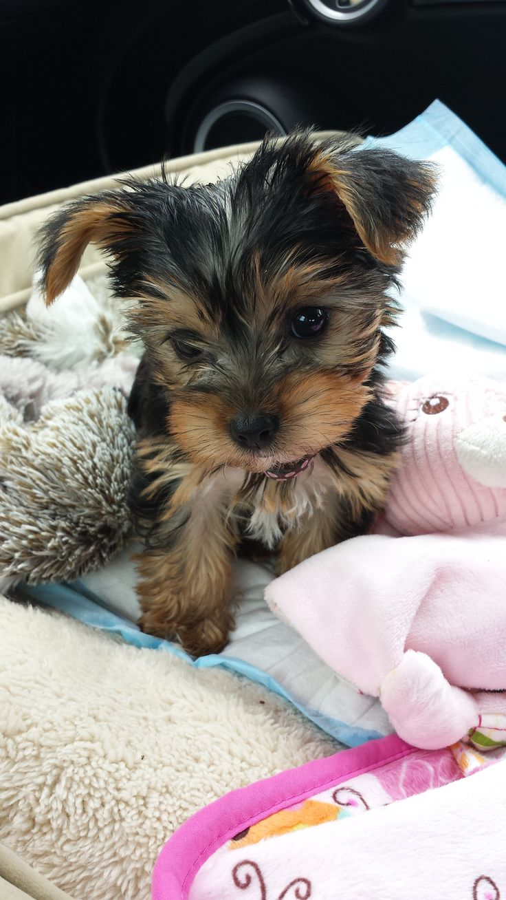 Pinning made easy! http://www.pinny.co Pin any photo in any website with a click.: Yorkie Baby, Animals, Yorkshire Terrier, Pet, Baby Yorkie, Yorkies Dogs