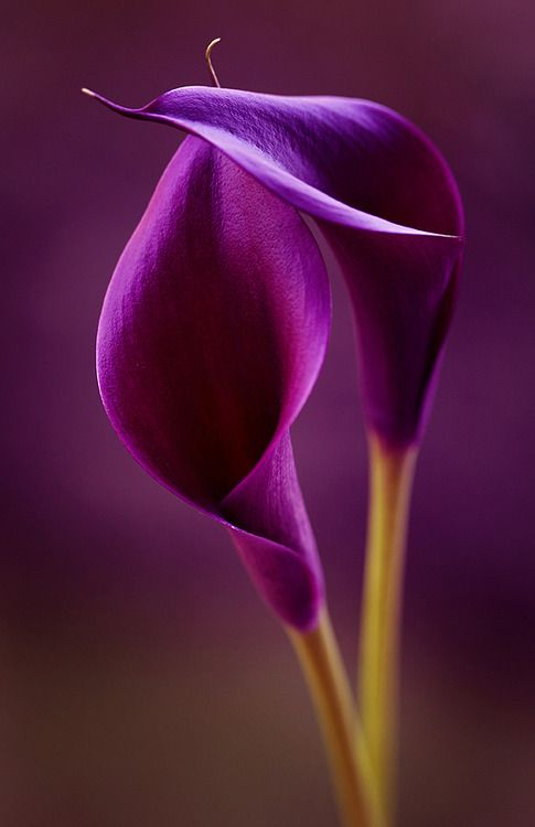 Purple love... #purple #colours #: Color, Calla Lilies, Purple Passion, Beautiful Flowers, Purple Calla, Garden, Calla Lily, Flower, Purple Flower